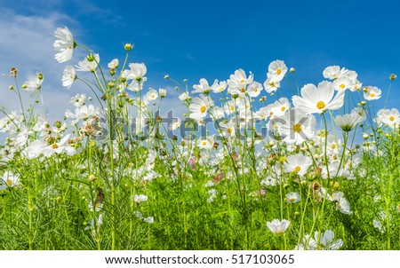 White cosmos flowers blooming beautifully in the garden with blue sky background