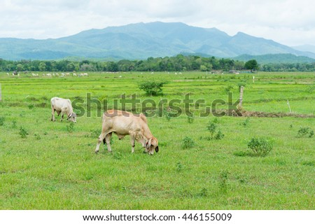 white cow eating green grass in rice field with soft mountain background in thailand