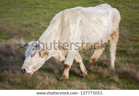 white cow grazing in the ground - stock photo