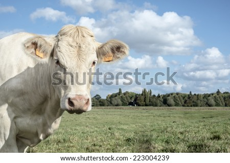 white cow in a field watching you - stock photo