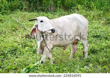 white cow in a forest, It is still possible to see an forest fragment in the back. - stock photo
