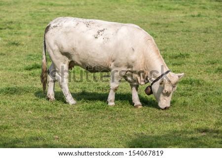 White cow in Dutch pasture - stock photo