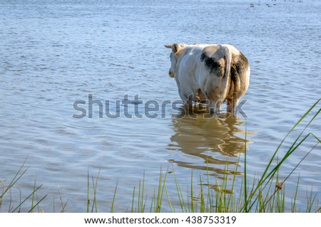 White cow with horns is staring in the distance while she is cooling down in the clear water of the small natural pond on a sunny and hot summer day. - stock photo