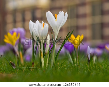White crocus are blooming in spring in a field - stock photo