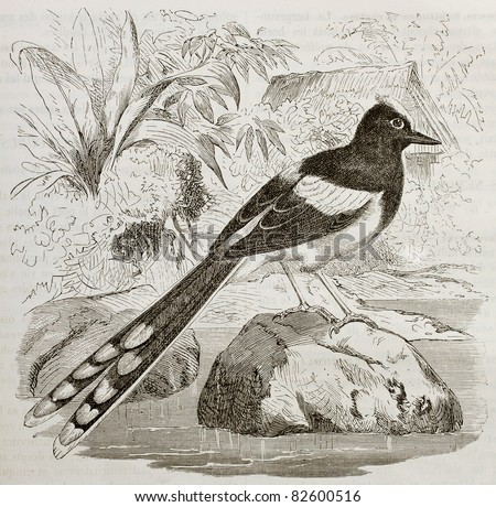 White-crowned Forktail old illustration (Enicurus leschenaulti). Created by Kretschmer and Jahrmargt, published on Merveilles de la Nature, Bailliere et fils, Paris, 1878 - stock photo