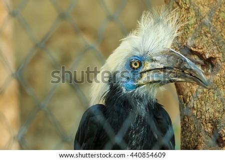 White Crowned Hornbill (Berenicornis comatus), bird of Thailand, wildlife.(Shooting cage) - stock photo