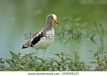 white-crowned lapwing, white-headed lapwing, white-headed plover, white-crowned plover (Vanellus albiceps) - stock photo
