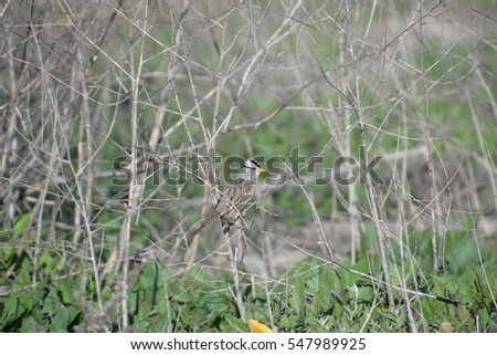 White-crowned Sparrow hiding on a branch