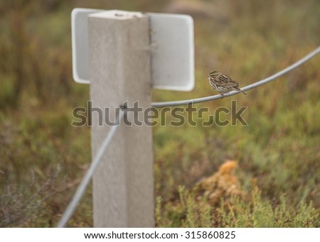White Crowned Sparrow spotted in Heron's Head Park, San Francisco - stock photo