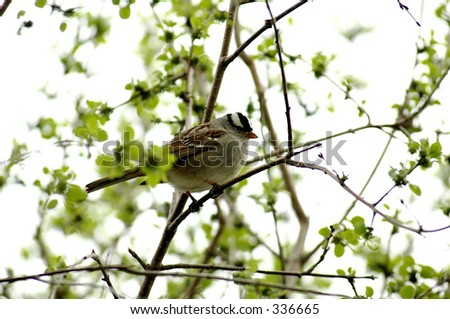 White-crowned sparrow Zonotrichia leucophrys - stock photo