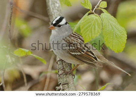 White-crowned Sparrow (Zonotrichia leucophrys) Perched on a Branch in Spring - Grand Bend, Ontario, Canada - stock photo