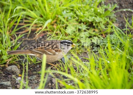 White-Crowned Sparrow (Zonotrichia leucophrys) spotted outdoors - stock photo