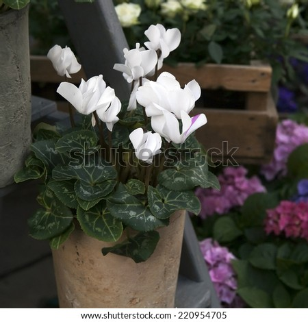 white cyclamens in bowl on barrel as a decoration near stone wall - stock photo