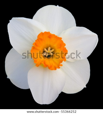 white daffodil - stock photo