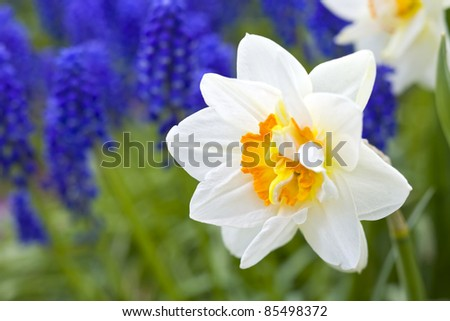 White daffodils against a background of blue muscari in the spring garden. - stock photo
