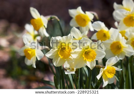 white daffodils in the park, springtime - stock photo