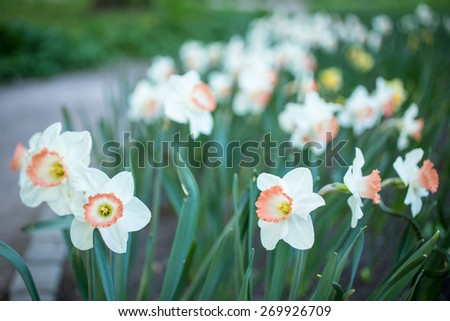 White Daffodils, Narcissus poeticus, on a Garden Lawn in Spring - stock photo