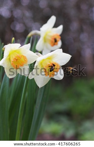 white daffodils with a bee, spring - stock photo