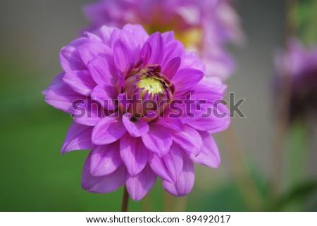White Dahlia and bumble bee - stock photo