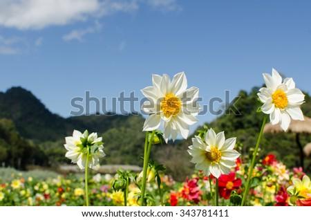 White dahlia flower in the garden and blue sky - stock photo