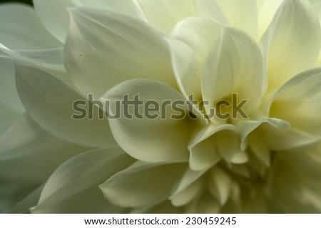 White Dahlia petals closeup - stock photo
