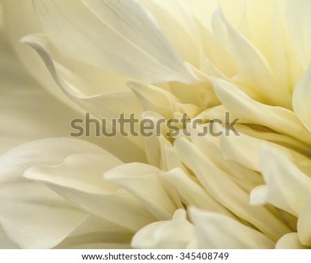 White dahlia petals macro, floral abstract background. Shallow DOF. - stock photo