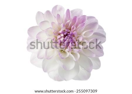 White dahlia with violet rim isolated on white. - stock photo