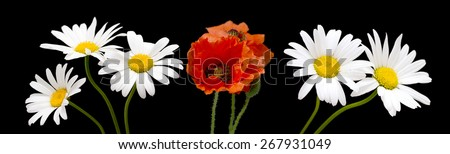 white daisies and poppies on a black background - stock photo