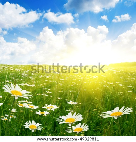 White daisies,blue sky and sun.