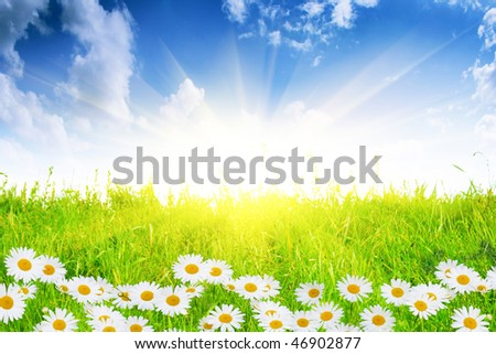 White daisies,green field and sun.