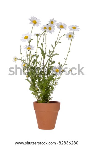 White daisies in a brown pot isolated on a white background. - stock photo