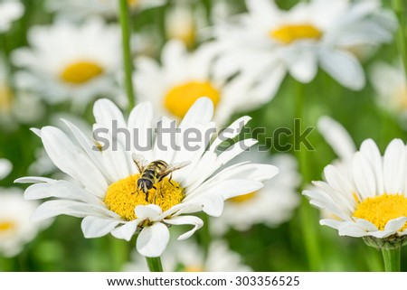 White daisies in a flower bed and a hoverfly sitting in one of them