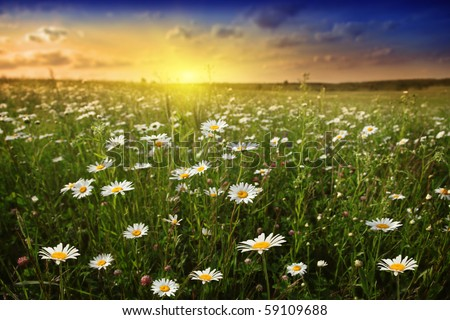 White daisies in meadow and beautiful sunset. - stock photo