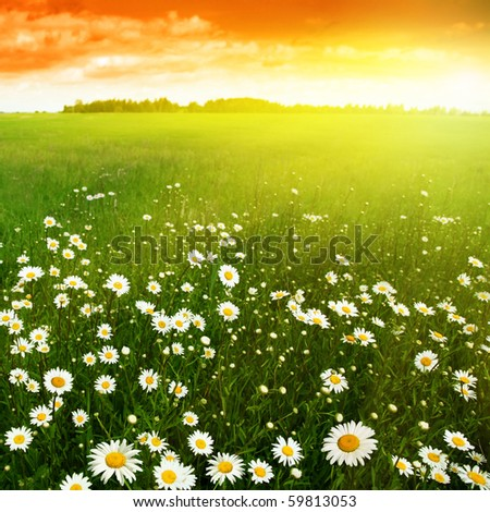 White daisies in meadow at sunset. - stock photo