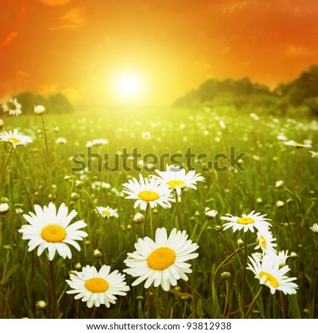 White daisies in the field at twilight. - stock photo