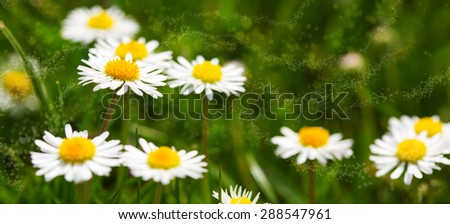 White daisies meadow.Summer flowers meadow.