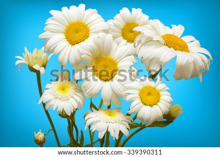 White daisies on a blue background - stock photo