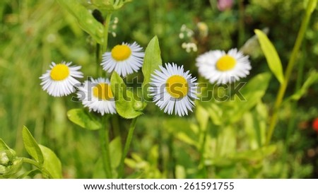 White daisies on a sunny meadow - stock photo