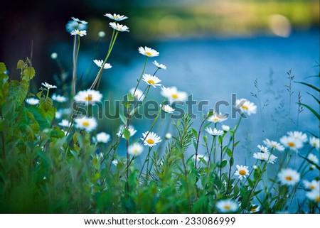 white daisies on blue background - stock photo