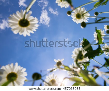 white daisies on blue sky background  under shining sunlight. close up. small depth of field - stock photo
