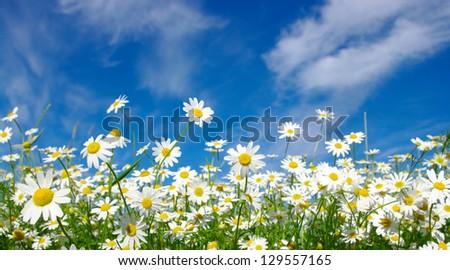 white daisies on sky - stock photo