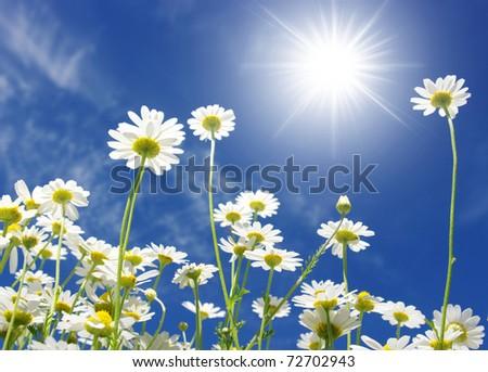 white daisies on sun - stock photo