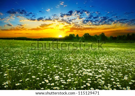 White daisies on the meadow at sunset. - stock photo