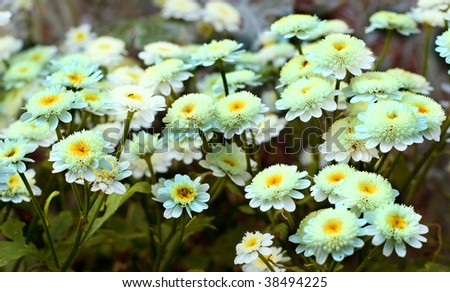White daisies. The concept of purity and tenderness