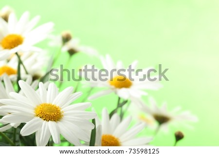 white daisies with copy space