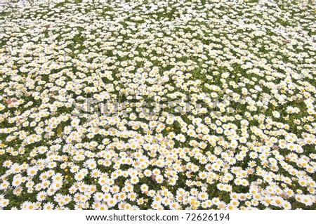 White daisy - stock photo