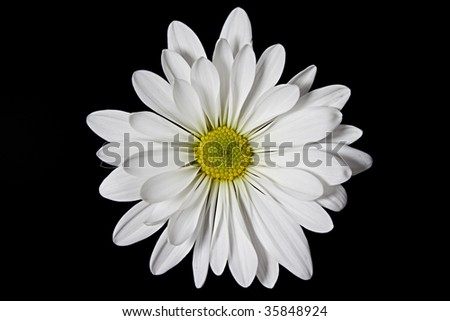 White daisy detail isolated on black background with clipping path