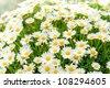White daisy flower at garden center retail store - stock photo