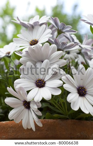 White daisy flower in a garden - stock photo