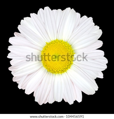 White Daisy Flower Isolated on Black Background - White with Yellow Center - stock photo